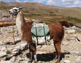 Lloyd_the_llama