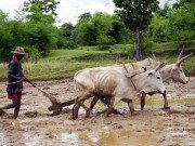 Ploughing_with_Oxen_Yann