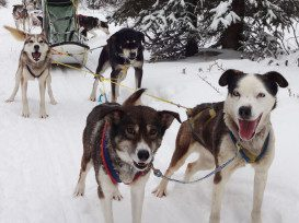 dog_sled_team