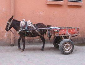 mule in moracco