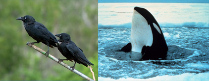 Crows and Orca