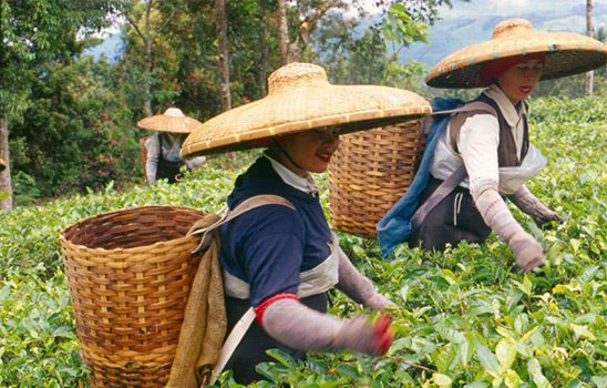 workers harvesting tea