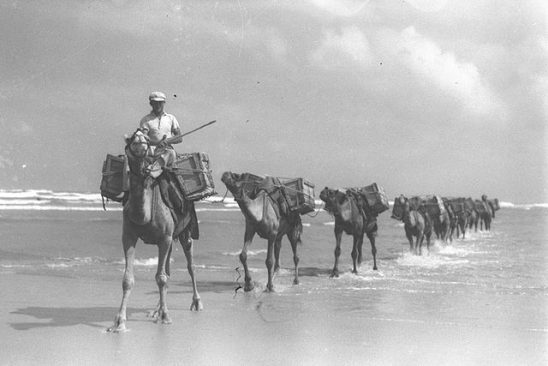 A Jewish camel driver leading a caravan of pack camels carying building gravel from the Tel Aviv sea shore.