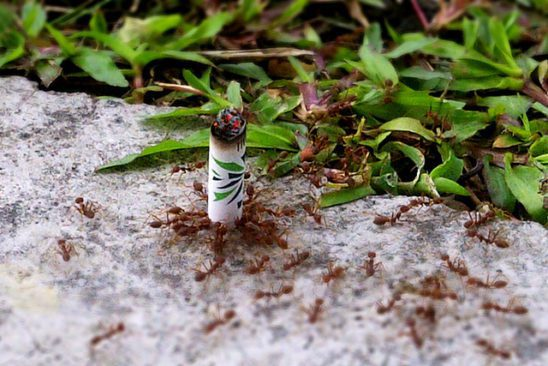 Ants working together to lift a cigarette butt.