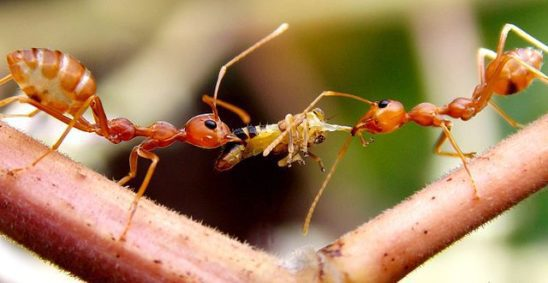 Weaver ants carrying food.