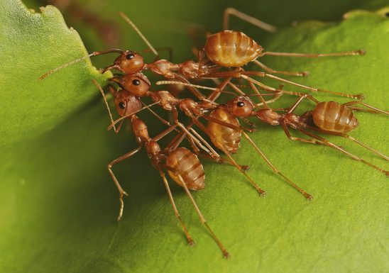 Ants crowd together, reaching for a leaf