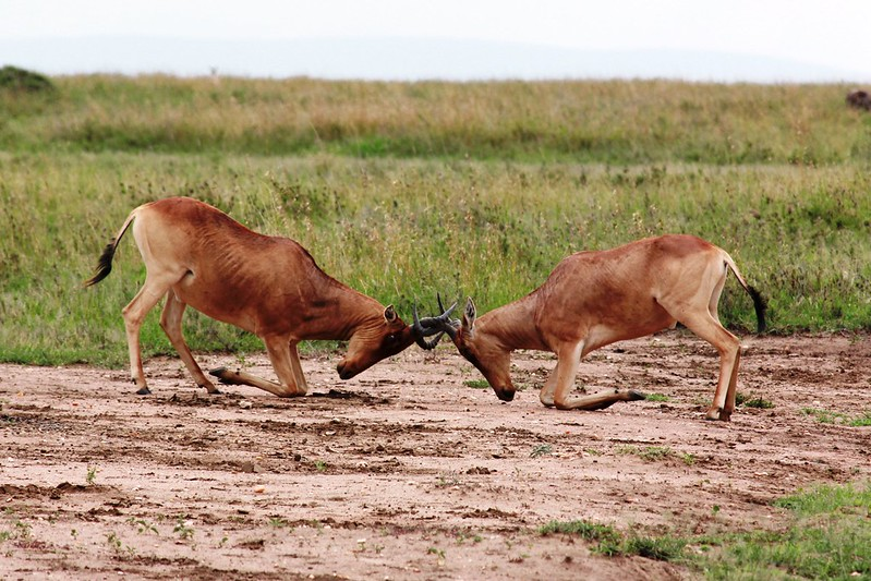 Two hartebeests fighting for territory.