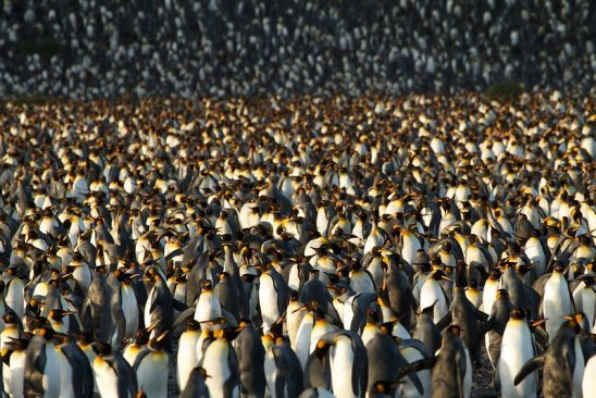 A tightly packed colony of penguins.